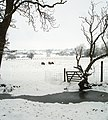 Sheep foraging in the snow - geograph.org.uk - 1719249.jpg