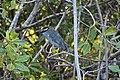 Shore birds in the mangroves (24356383000).jpg