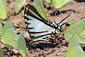 Short-lined kite-swallowtail (Protographium agesilaus agesilaus).JPG