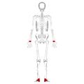 Short bones - posterior view.png