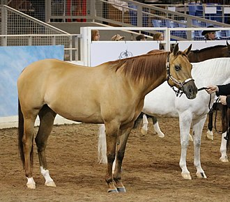 Quarab - Quarab in horse show competition