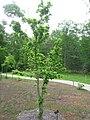Sinojackia rehderiana - 2 - North Carolina Arboretum.JPG