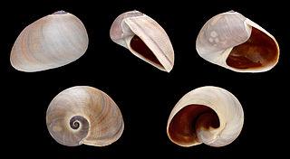 <i>Sinum</i> genus of molluscs