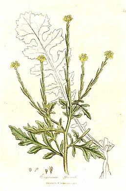 Sisymbrium officinale (L.) Scop. as Erysimum officinale L.jpg