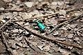Six Spotted Tiger Beetle rear (4631211084).jpg