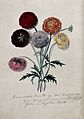 Six cut Ranunculus flowers; double-flowered varieties with l Wellcome V0043472.jpg