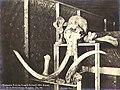 Skull and bones of a mammoth discovered at the bottom of a mining shaft, Hunter Creek, Yukon Territory, Jan 1901 (MEED 84).jpg