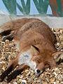 Sleepy Red Fox.jpg