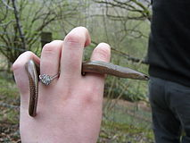 Slow Worm In Hand.JPG