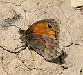 Small Heath Coenonympha pamphilus (31706575913).jpg
