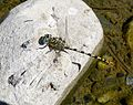 Small Pincertail. Onychogomphus forcipatus. Male - Flickr - gailhampshire.jpg
