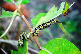 Smoke Hole - Danaus plexippus caterpillar.jpg