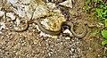 Smooth Snake Coronella austriaca (45744353742).jpg