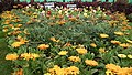 Snap from Lalbagh Flower Show Aug 2013 8385.JPG