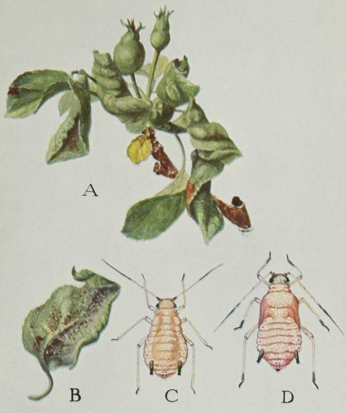 File:Snodgrass Amuraphis roseus.jpg
