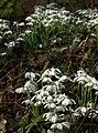 Snowdrops, Brownstone - geograph.org.uk - 1168173.jpg