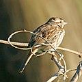 Song Sparrow (4605329508).jpg