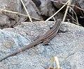 Sonoran Desert Whiptail - Flickr - gailhampshire.jpg