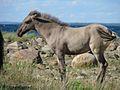 Sorraia foal on the Ravenseyrie Sorraia Mustang Preserve.jpg