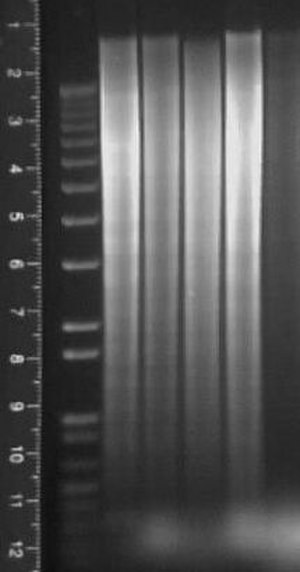 Southern blot - Southern blot agarose gel under ultraviolet illumination.