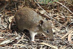 Southern brown bandicoot - Foraging adult