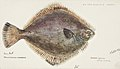 Southern Pacific fishes illustrations by F.E. Clarke 67.jpg