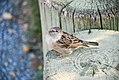 Sparrow (2873784183).jpg