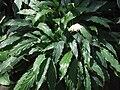 Spathiphyllum wallisii a3.jpg