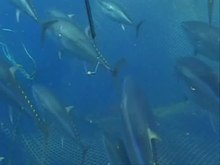 ملف:Spawning-Behaviour-and-Post-Spawning-Migration-Patterns-of-Atlantic-Bluefin-Tuna-(Thunnus-thynnus)-pone.0076445.s001.ogv