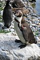 Spheniscus humboldti -Marwell Wildlife, Hampshire, England-8a.jpg