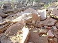Sphingonotus species IMG 8181.JPG