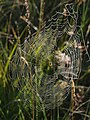 Spider's web on Hollow Moor - geograph.org.uk - 513444.jpg