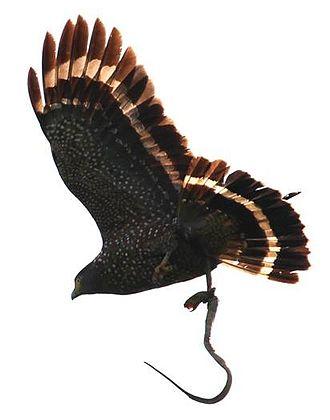 Philippine serpent eagle - Image: Spilornis holospilus