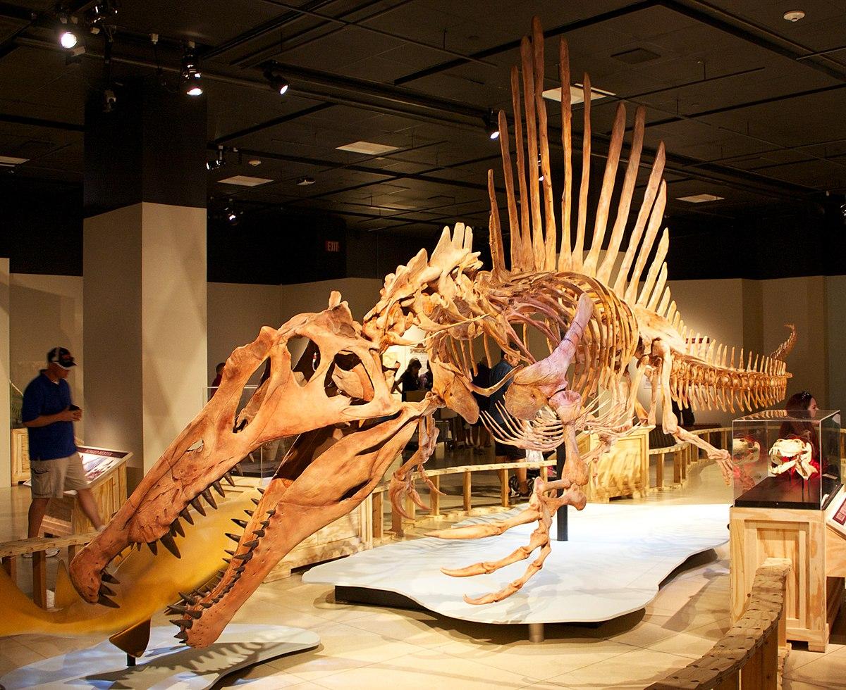 Skelettrekonstruktion von Spinosaurus aegyptiacus in schwimmender Position im Museum der National Geographic Society in Washington, D.C.