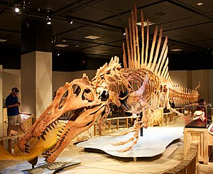 Skelettrekonstruktion von Spinosaurus aegyptiacus in schwimmender Position im Museum der National Geographic Society in Washington, D.C.