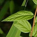 Spiraea japonica (leaf cropped).jpg