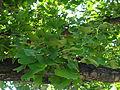 Spomenik prirode Ginko na Vračaru 07.JPG