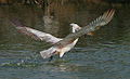 Spot-billed Pelican (Pelecanus philippensis) about to take off with nesting material W IMG 2810.jpg