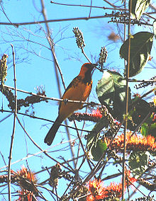 Spot-breasted Oriole.jpg