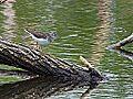 Spotted Sandpiper (7156365648).jpg