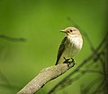Spotted flycatcher (34986752582).jpg