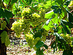 St. Sadurni d'Anoia - white grapes.jpg