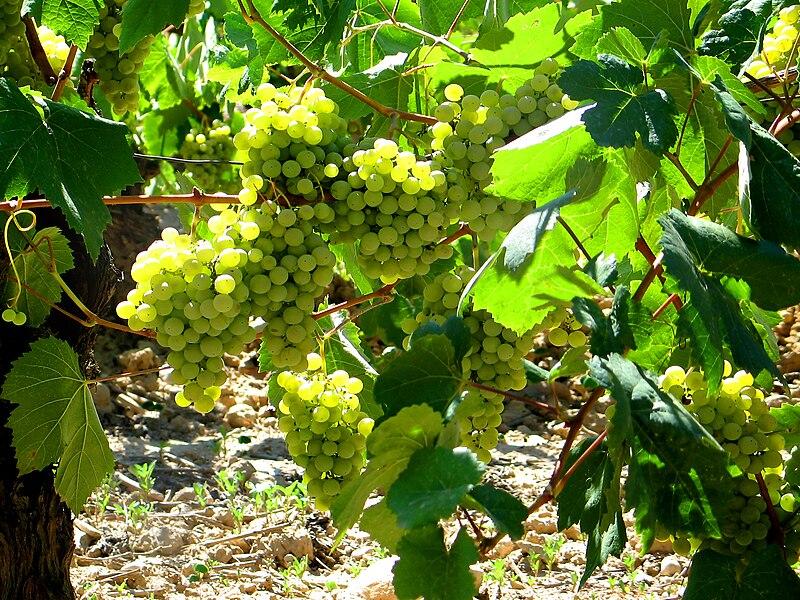 File:St. Sadurni d'Anoia - white grapes.jpg