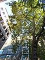 St Peter Westcheap Plane Tree.jpg