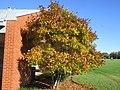 Star Magnolia in Autumn.JPG