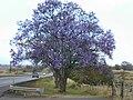 Starr-010419-0078-Jacaranda mimosifolia-flowering habit-Kula-Maui (23904097924).jpg