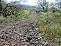 Starr-020422-0093-Zinnia peruviana-fenceline road-Puu o Kali-Maui (24522285636).jpg