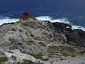 Starr-050404-0044-Eleusine indica-habit-Mokeehia-Maui (24623680482).jpg