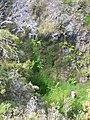 Starr-050815-7368-Erigeron karvinskianus-habit-Pohakuokala Gulch-Maui (24433853479).jpg