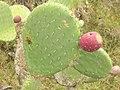 Starr-051122-5393-Opuntia ficus indica-fruit-Haleakala Ranch-Maui (24731738122).jpg